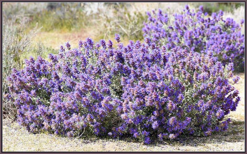 10 Desert Sage