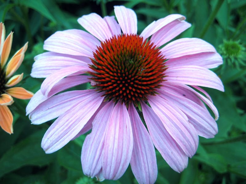 10 Echinacea Purpurea