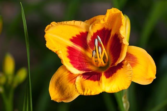 10 Yellow Red Daylily