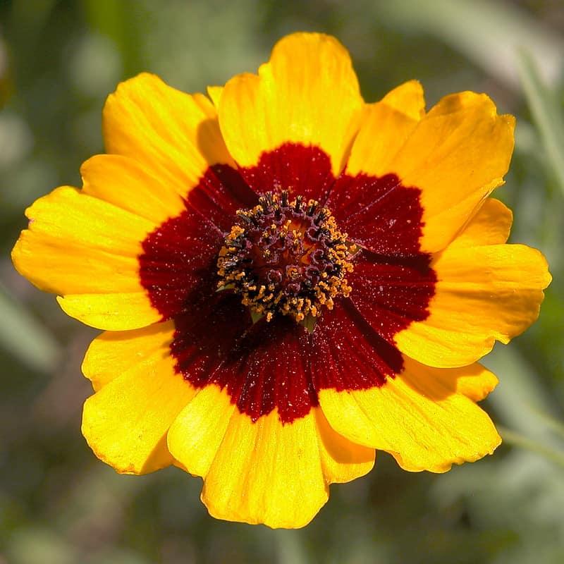 11 Coreopsis Tinctoria