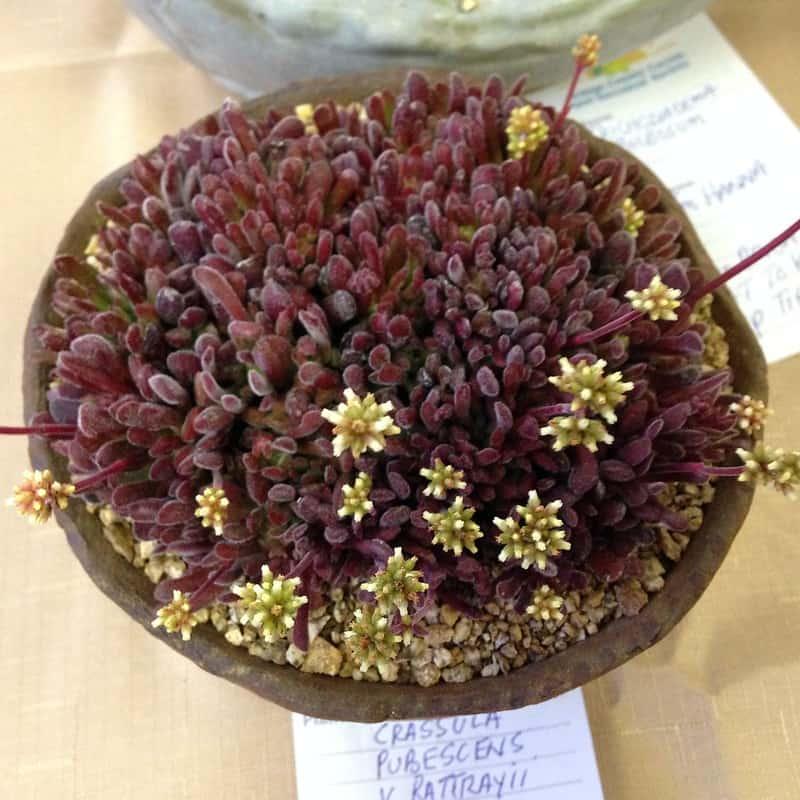 11 Crassula pubescens