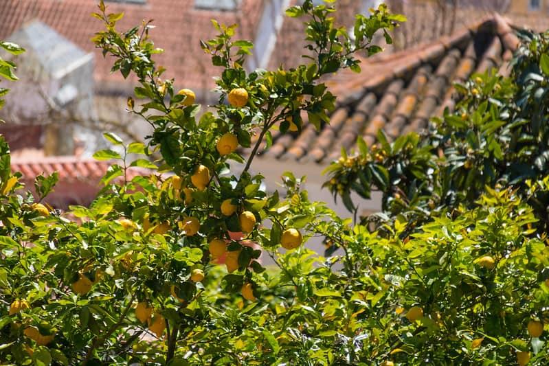 11 Lisbon Lemon