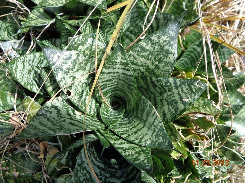 12 Sansevieria trifasciata