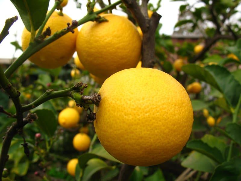 14 Interdonato Lemon