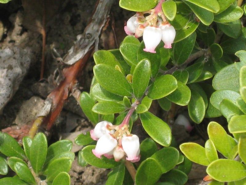 16 Bearberry