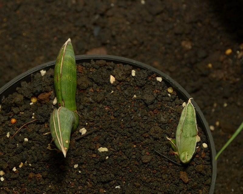 16 Sansevieria eilensis