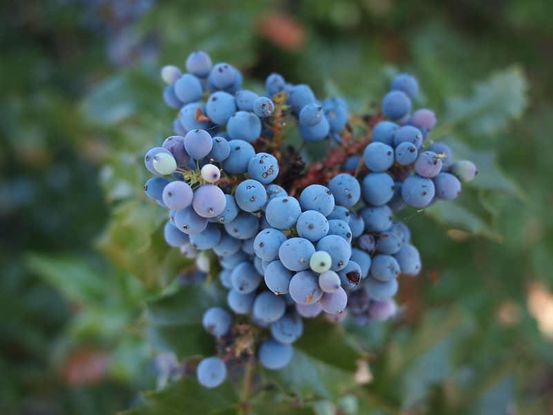 17 Oregon Grape