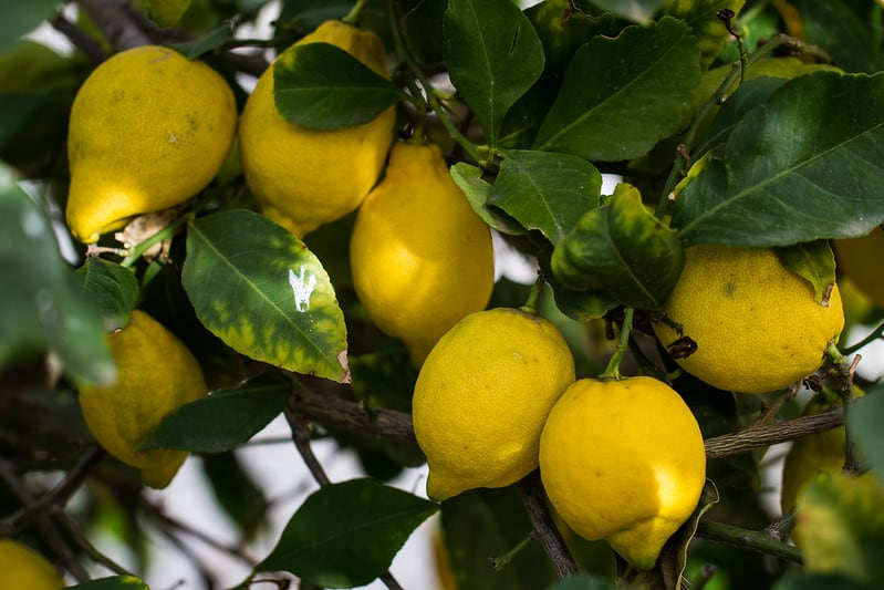 18 Lemon Tree