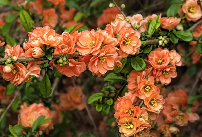 19 Flowering Quince