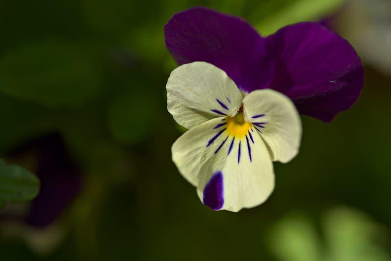 19 Viola Tricolor