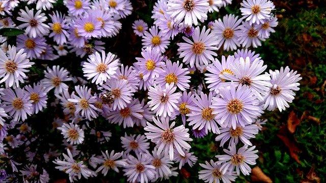2 Aster Flower varieties