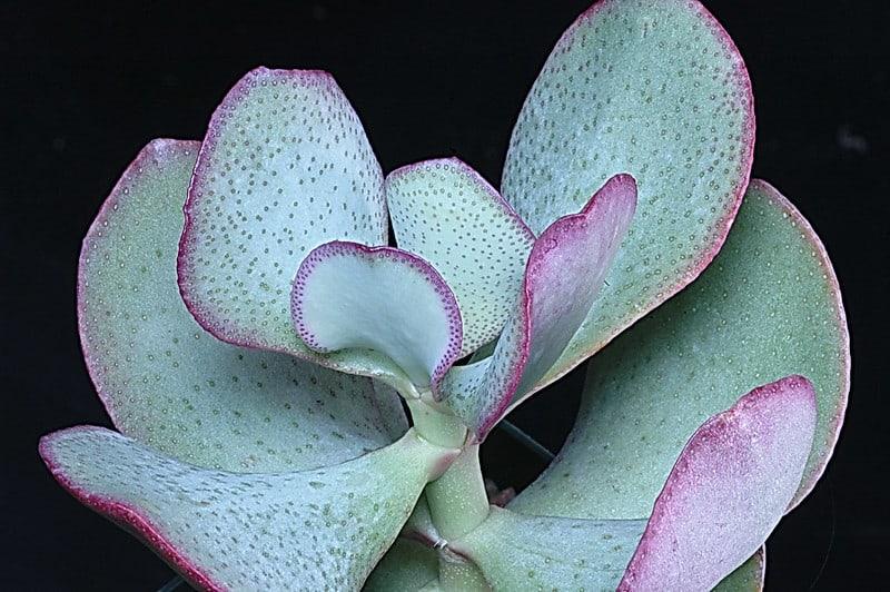 2 Crassula Arborescens
