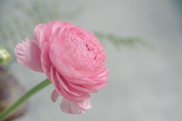 2 Pink Ranunculus
