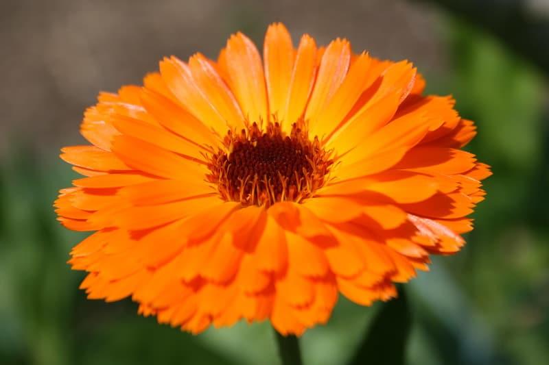 2 Pot Marigold