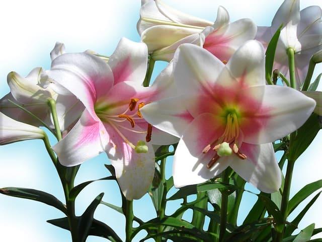 2 True Lilies