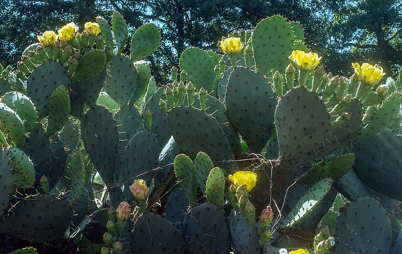 20 Prickly Pear