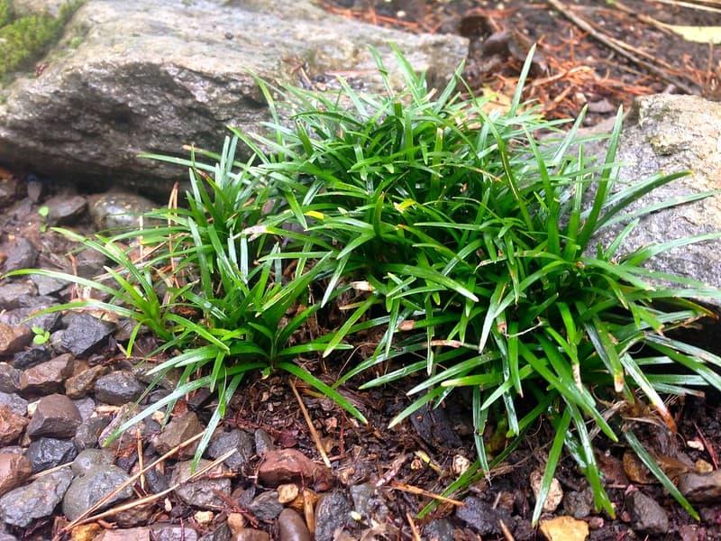 21 Mini Mondo Grass