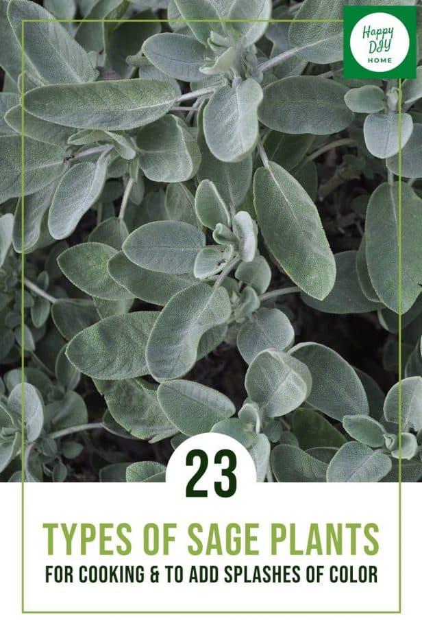 23 Types of Sage 1