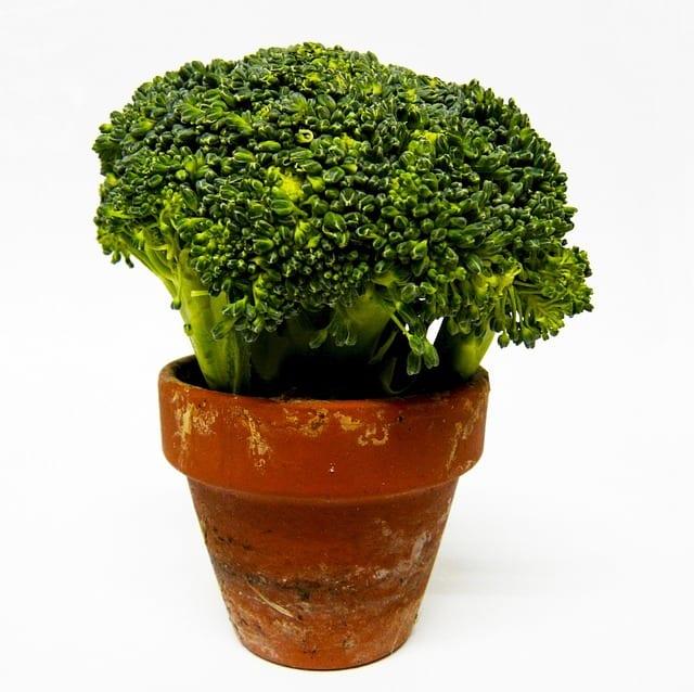3 Growing broccoli in pots
