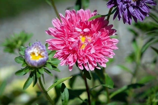 3 Unusual aster flower varieties