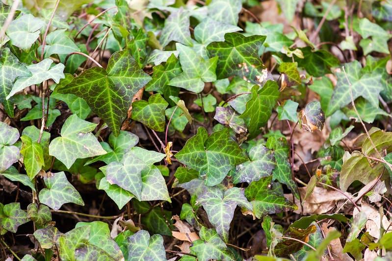 4 English Ivy