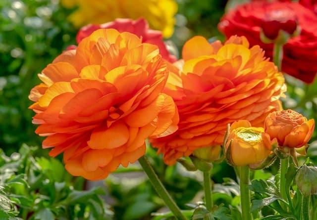4 Orange Ranunculus