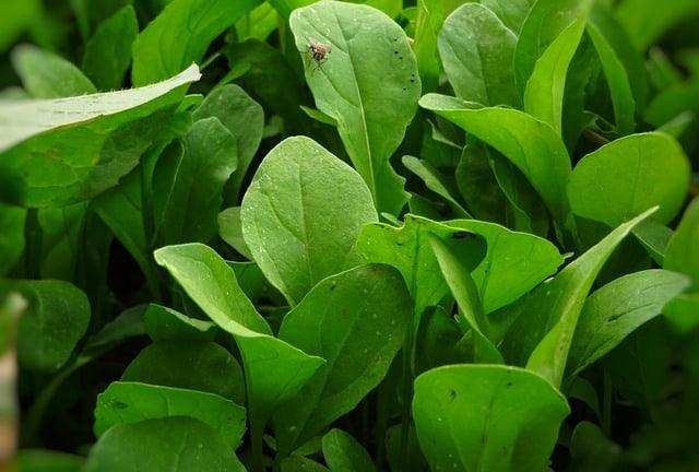 5 Arugula Plants