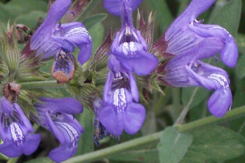 5 Common Garden Sage
