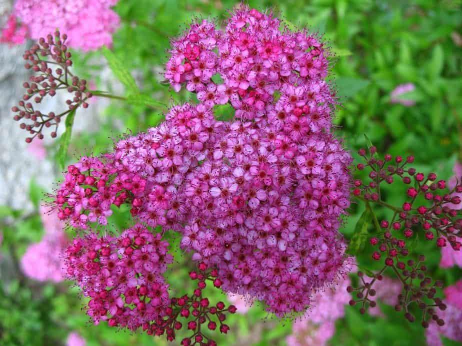 5 Pink Spirea