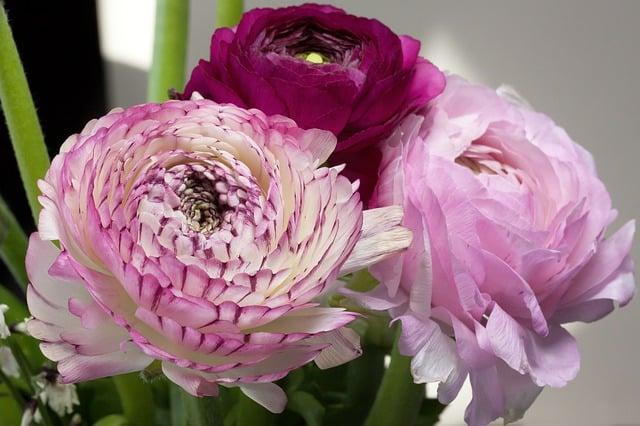 5 Pink and Purple Ranunculus