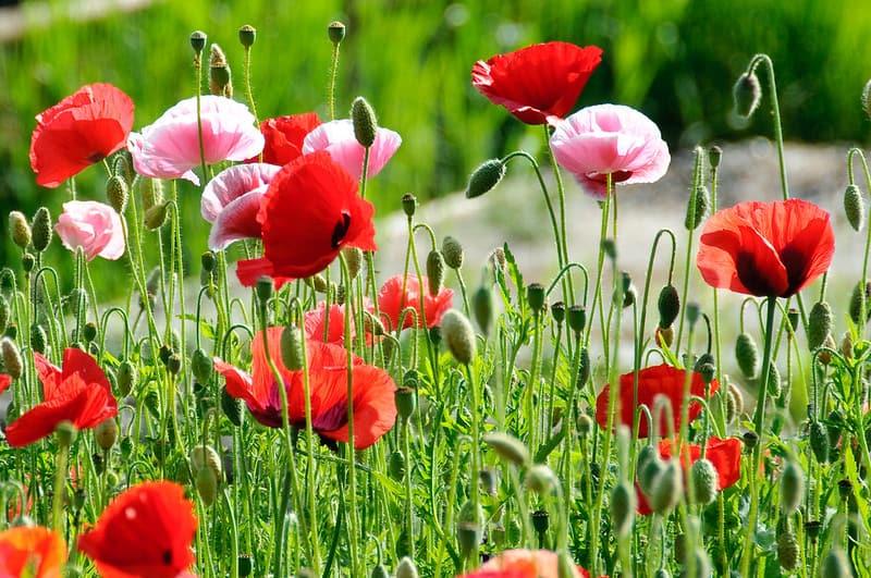 5 Poppy