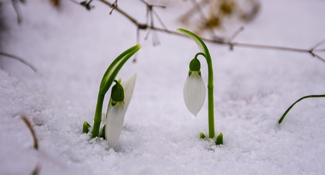 5 Snowdrops hardy