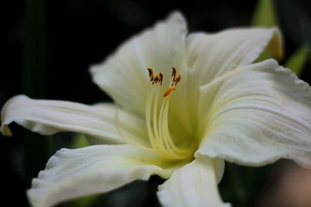 5 White Daylily