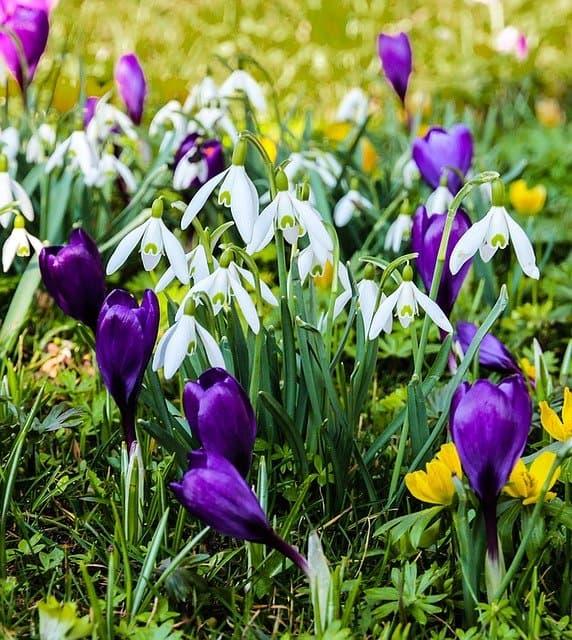 6 Snowdrops companion plants