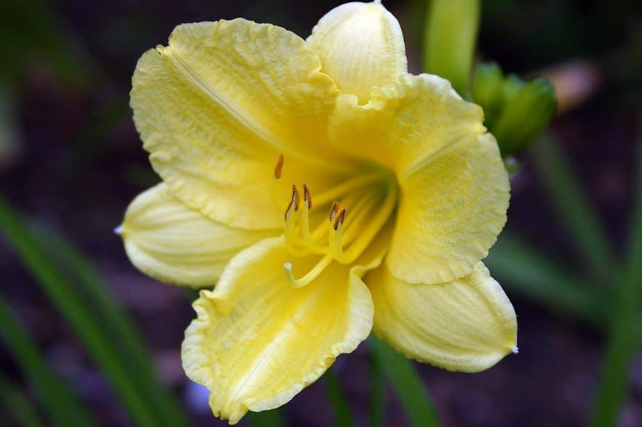 6 Yellow Daylily
