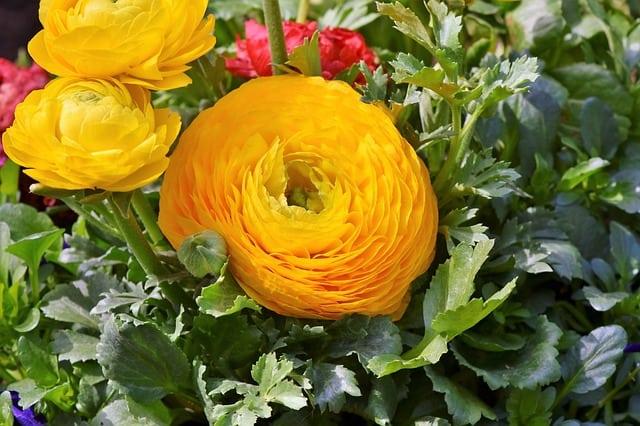 6 Yellow Orange Ranunculus