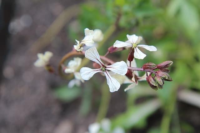 7 Arugula Flowers