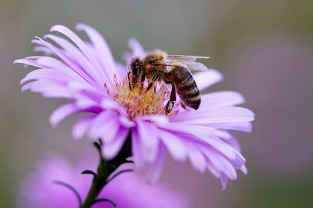 7 Aster flowers provide nectar