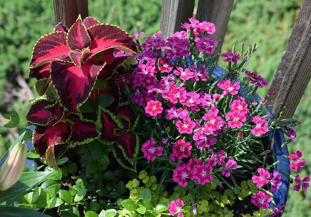 7 Calibrachoa planting scheme