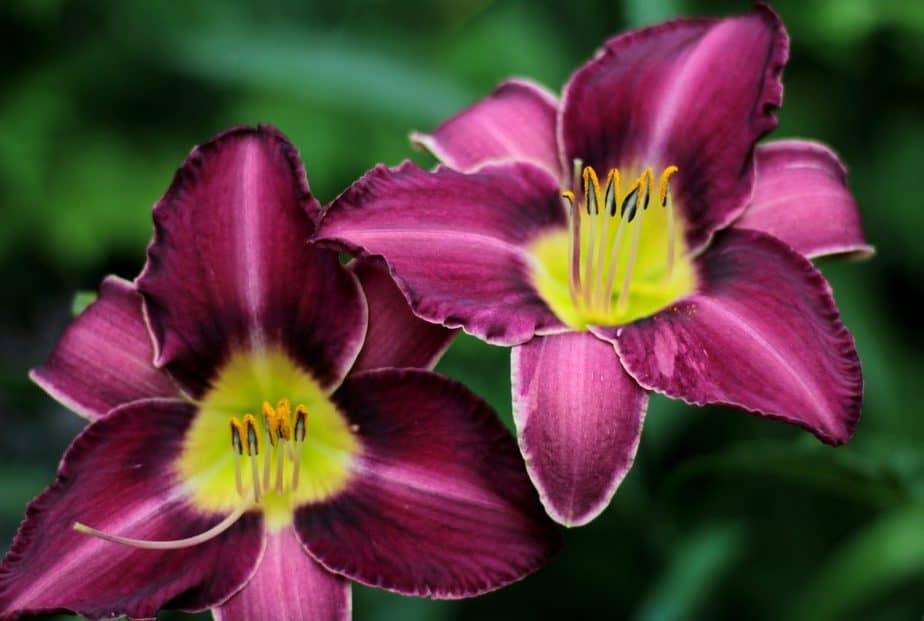 7 Purple Daylilies