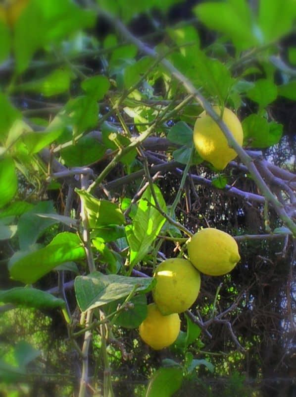 7 Verna Lemon