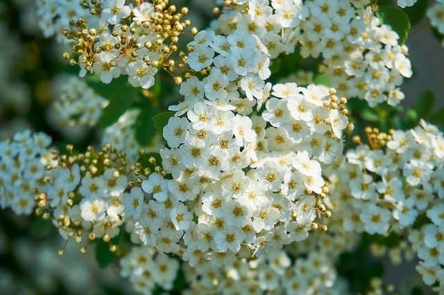 7 White Spirea