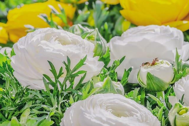8 White and Yellow Ranunculus