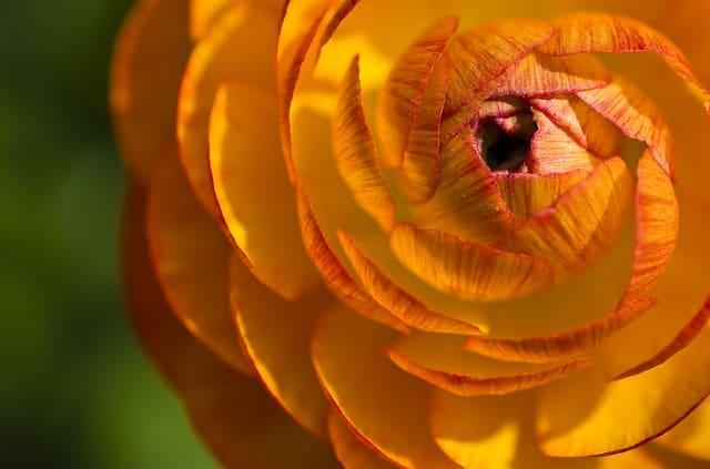 9 Orange Ranunculus