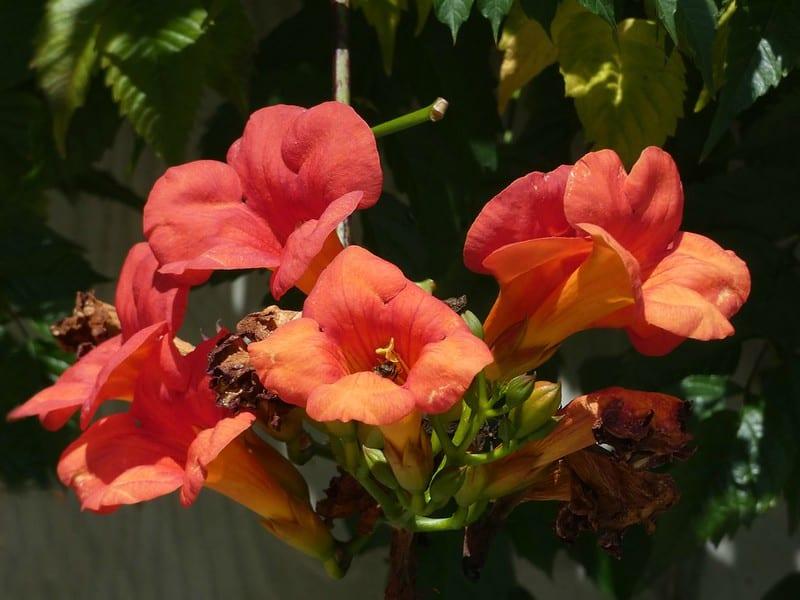 9 Trumpet Flower