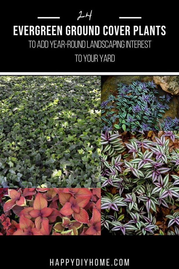 Evergreen Ground Cover Plants 1