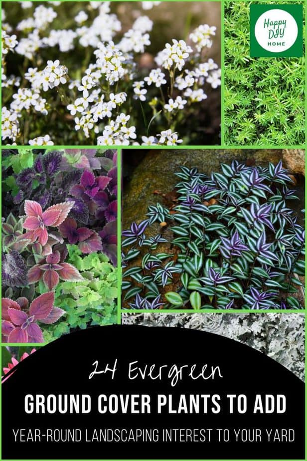 Evergreen Ground Cover Plants 2