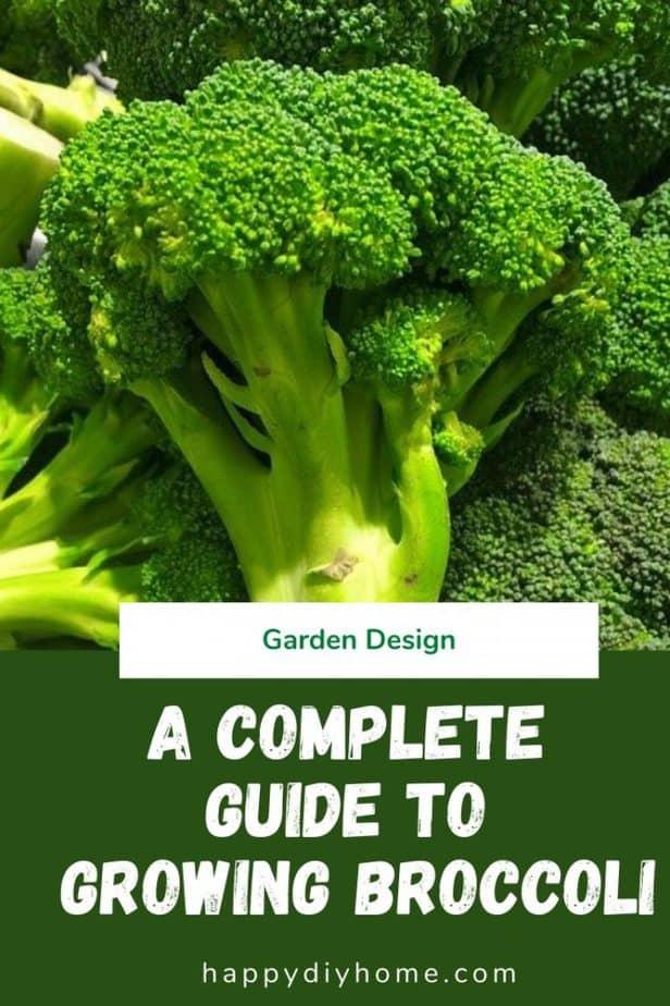 Growing Broccoli 1