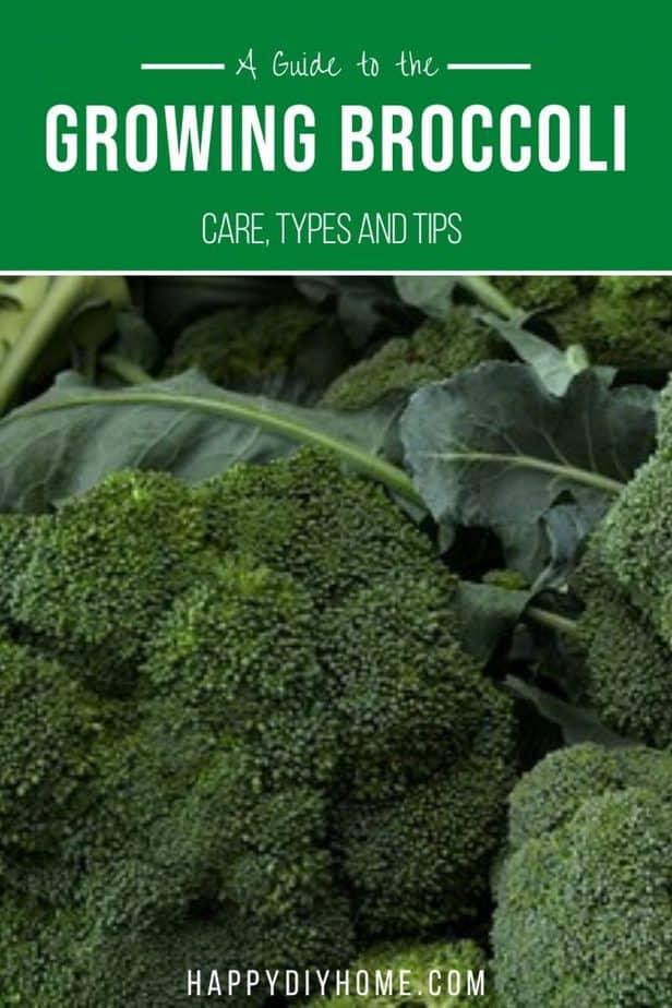 Growing Broccoli 2