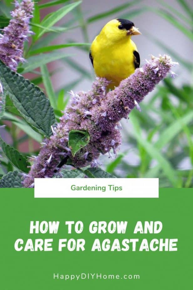 How to Grow and Care for Agastache